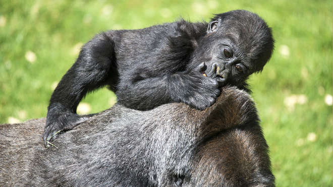 Gorilla baby and mother, shutterstock