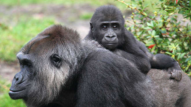 Gorilla baby and mother