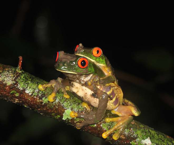 Red-eyed tree frogs by Rachael Antwis