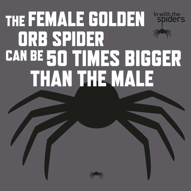 In with the Spiders - female golden orb spiders can be 50 times bigger than males