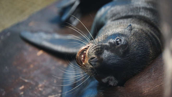 Cheeky Oscar the sea lion pup