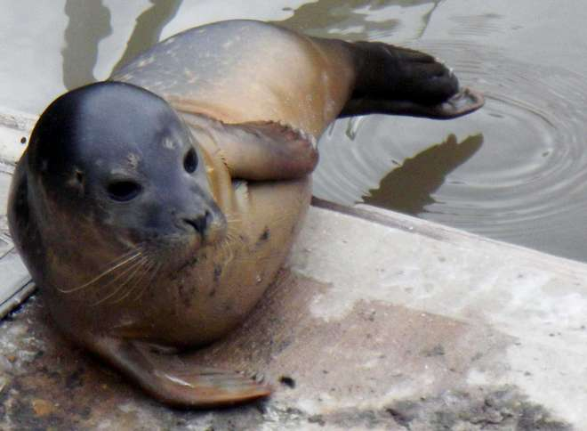 Seal at Chiswick Pier by Lorraine Conterio