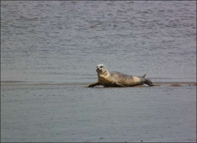 Thames seal photographed by Michael Robinson