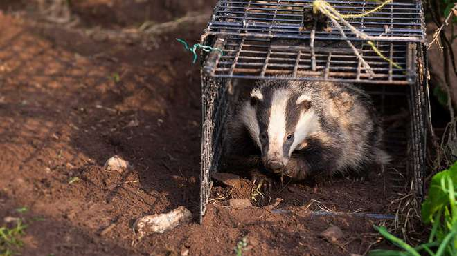 Badger vaccination project. Image (c) Seth Jackson