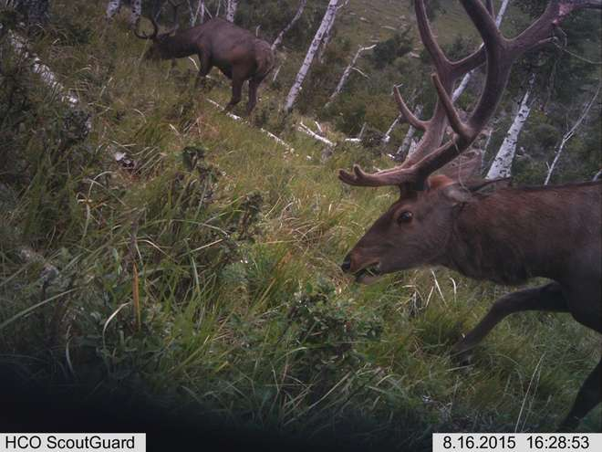 Red deer caught on a camera trap on the ZSL Summer Field Course 2015