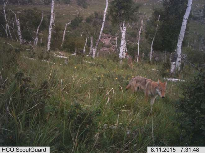 Wolves caught on a camera trap on the ZSL Summer Field Course 2015