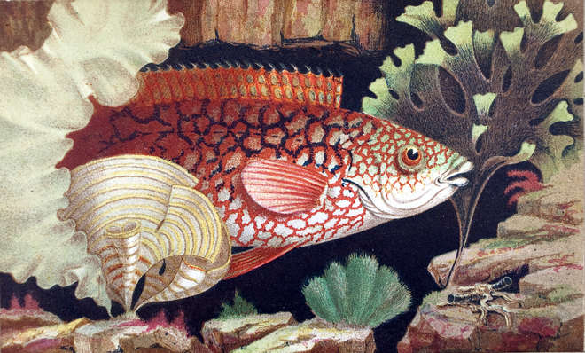 The ancient wrasse, an illustration in the Aquarium an unveiling of the wonders of the deep sea – 2nd ed. / by Philip Henry Gosse, London : John van Voorst, 1856.