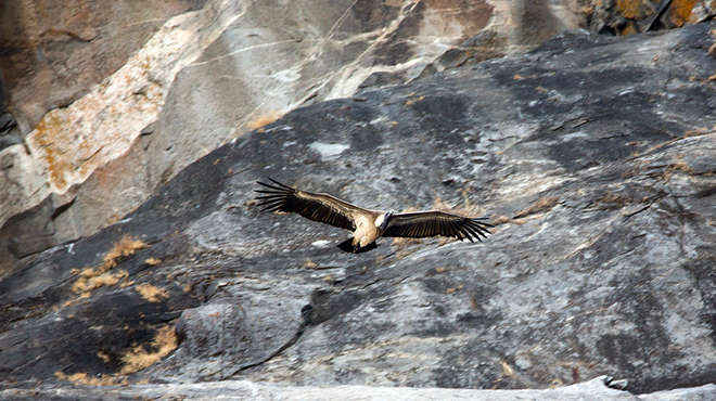 Long billed vulture flying over Gir Nar