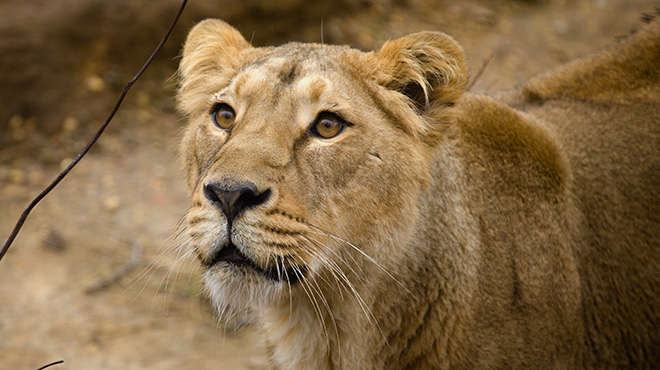 Heidi asiatic lion