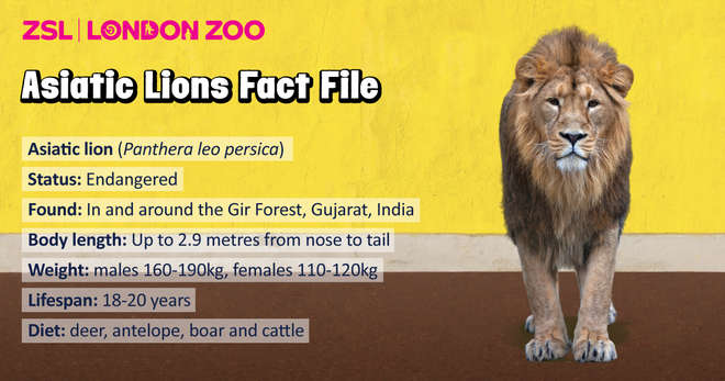 Asiatic Lions Factfile infographic