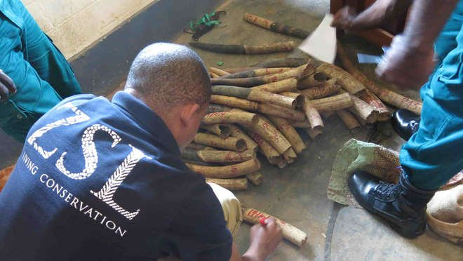 Ivory marking for traceability in Djoum, Cameroon