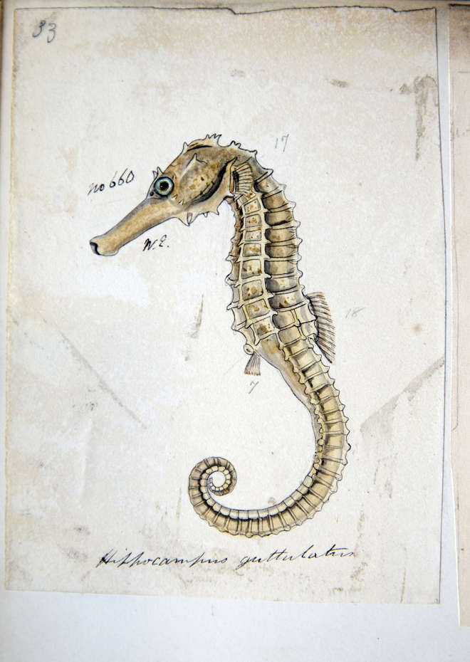 Side view of a drawing of a seahorse