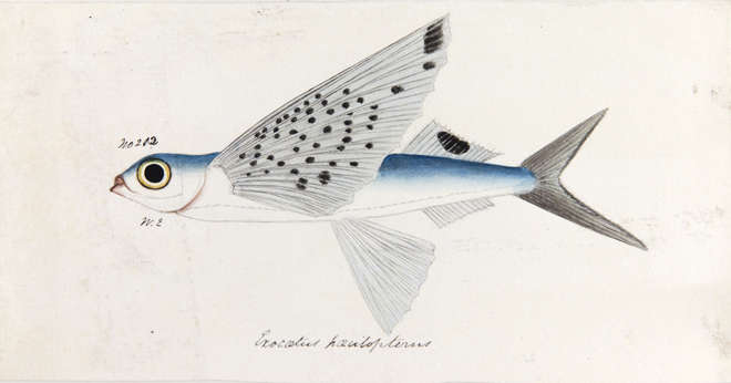 Raffles fish and the museum of the zoological society of for Flying fish drawing