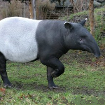 Asian-tapir-Tapirus-indicus.png