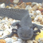 Axolotl-Ambystoma-mexicanum-Richard-Griffiths.png