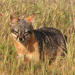 California-Channel-Island-Fox-Urocyon-littoralis-Tim-Hauf.jpg
