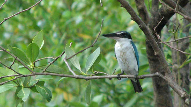 Collared kingfisher sitting in mangrove, Philippines