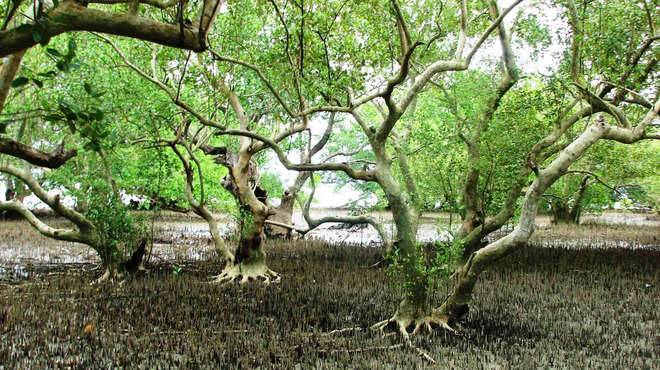 Mangrove forest at low tide, Philippines