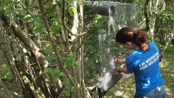 ZSL scientists releasing dormice into 'soft-release' cages in the Yorkshire Dales National Park