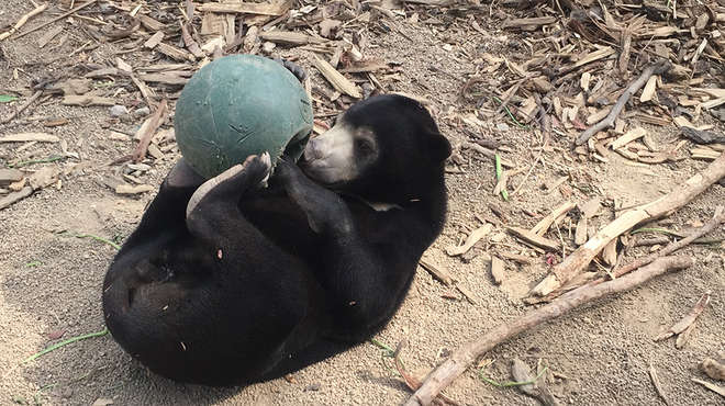 Bear with enrichment ball