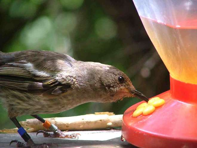 Female hihi drinking