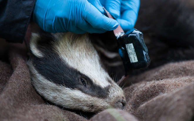 Fitting a badger collar