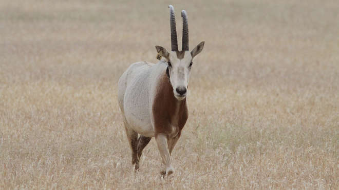Scimitar-horned oryx in the desert
