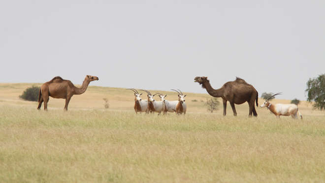 Scimitar-horned oryx with camels