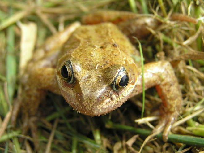 Common frogs living in the UK, like this one, are being effected by the spread of ranavirus thought to be spread by human activity
