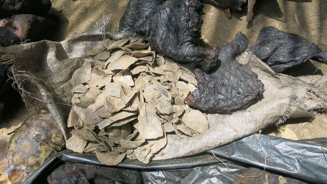 Pangolin scales seized