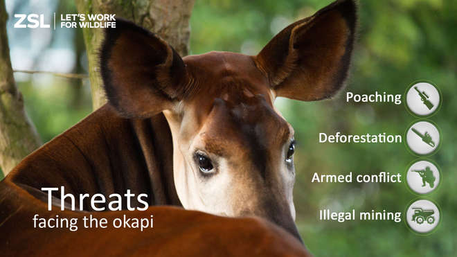 The threats facing the okapi include poaching, deforestation, armed conflict and illegal mining