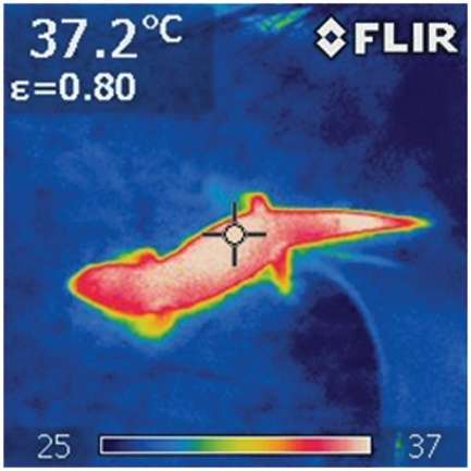 Thermogram of a warm lizard moving across a cooler background