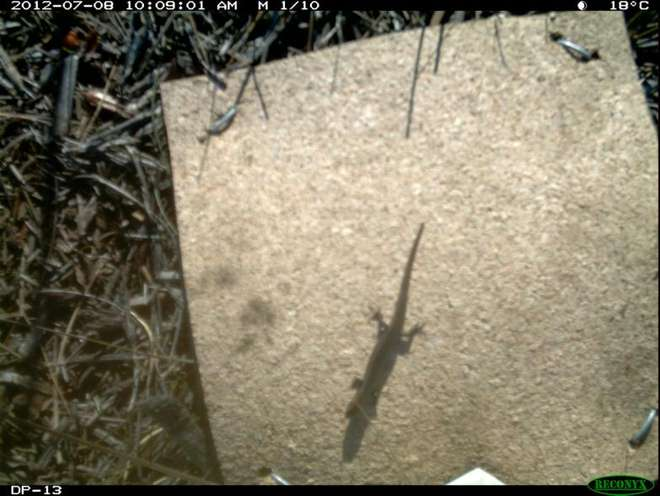 Using camera traps to detect terrestrial reptiles is certainly possible and effective