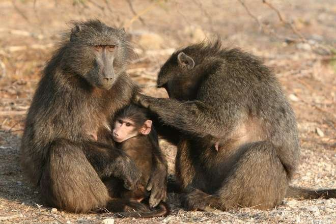 Baboons grooming; photo: Alecia Carter