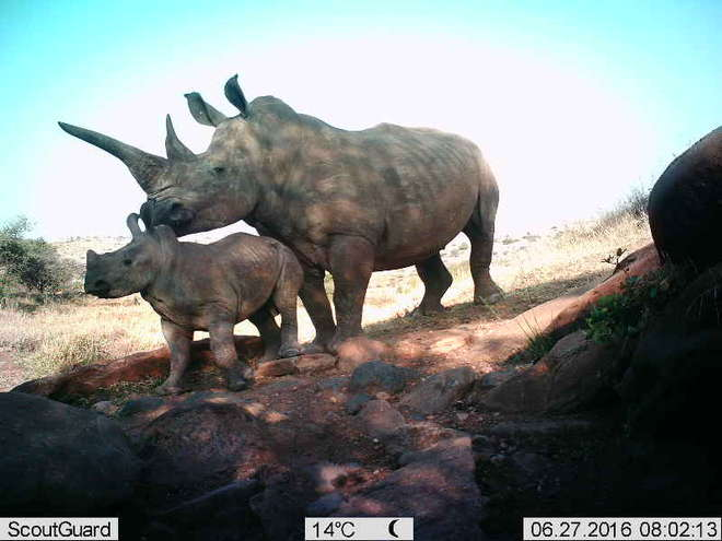 Mother and baby white rhino on Instant wild