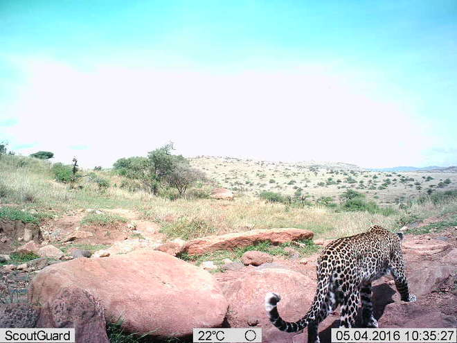 Leopard on Instant Wild