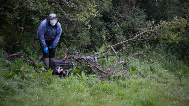 Rosie releasing vaccinated badgers back into the wild in Cornwall