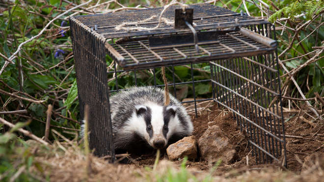 One of the badgers realeased after vaccination