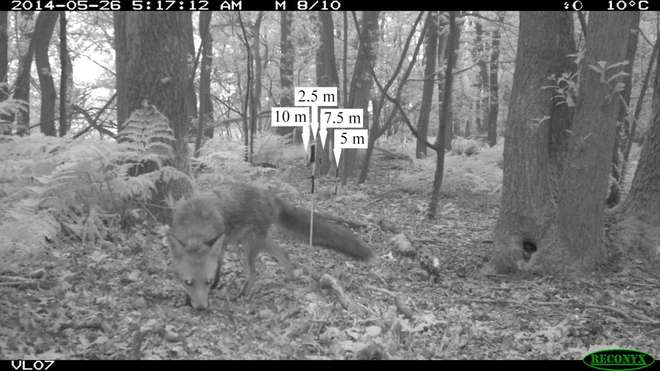 Camera trap photo with fox
