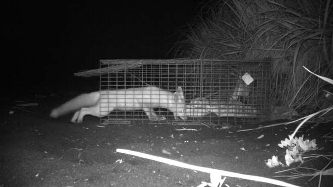 A red fox spotted on a motion sensor camera inspecting the trap used for investigating their decline