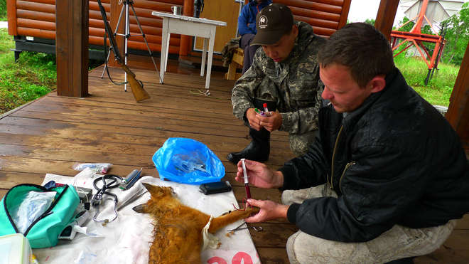 Misha taking blood samples of a fox at the ranger station