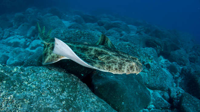Angel shark swimming above the ocean bed