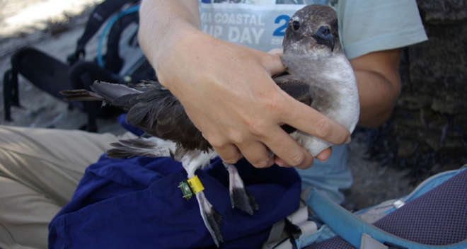 Round Island Petrel that is one of the focal species of the study