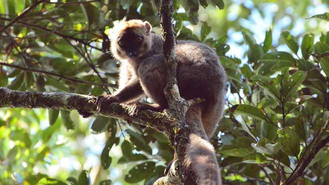 Red fronted lemur in madagascar