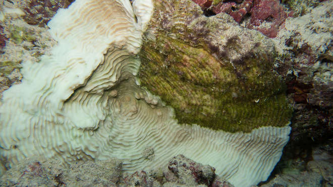 Elephant skin coral bleached in the Maldives