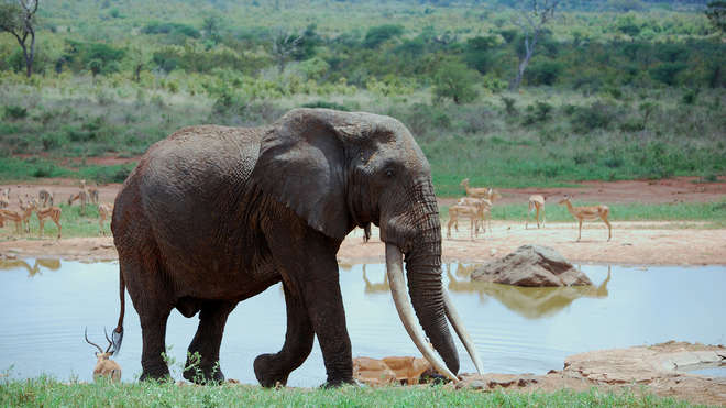 One African elephant dies every 15 minutes due to poaching for its tusks