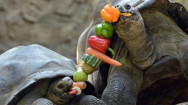 Galapogas tortoises enjoying vegetable kebab