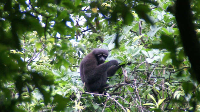 Male skywalker hoolock gibbon