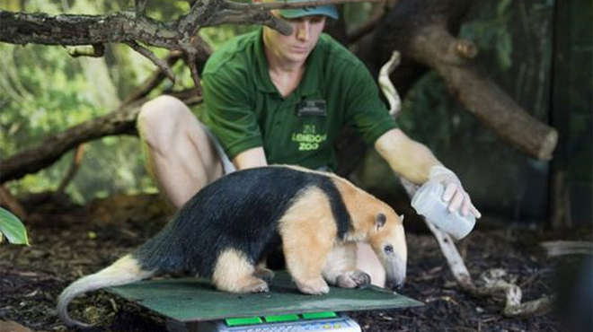 Southern tamandua being weighed
