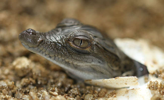 Hatching Philippine crocodile at ZSL London Zoo